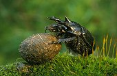 Minotaur Beetle rolling its ball of excrement Alsace France