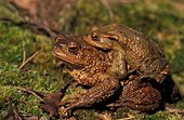 Accouplement de Crapaud commun France