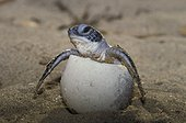 Hatching of a Green Sea Turtle in French Guiana