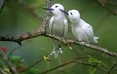 Pair of White Terns Bird Island Seychelles