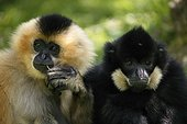 Portrait of Yellow-cheeked crested Gibbons male and female