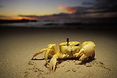 Ghost crab showing its eye Cape Range NP Australia