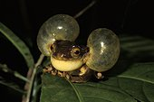 Golden-eyed tree frog inflating its vocal sac ; French Guiana