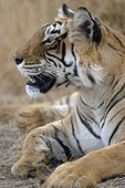 Portrait of Bengal Tiger lying Ranthambore NP India
