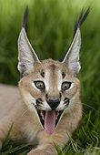Caracal United Arab Emirats