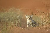 Young Sand cat - United Arab Emirates