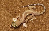 Arabian Sand Gecko United Arab Emirates