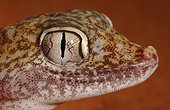 Portrait of Dune Sand Gecko United Arab Emirates