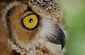 Portrait of a Desert Eagle Owl United Arab Emirates