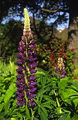 Lupins in solid mass in a garden of Island of France France