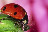 Sevenspotted lady beetle devouring Rose Aphid