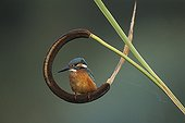 Common Kingfisher landed in a bent Reed France