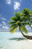 Beach with Coconuts leaning on the sea French Polynesia