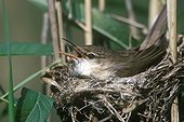 Eurasian Reed Warbler at nest France