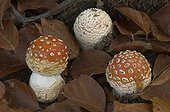 Fly Agaric Montseny nature reserve Spain