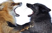 Dispute between two Red foxes Zoo of Ranua Finland