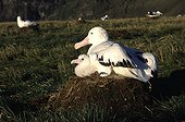 Male Wandering albatross and its young in nest Crozet