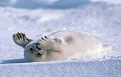 Young Harp Seal laid down in snow Canada ; Gulf of St. Lawrence.