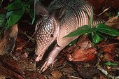 Nine-banded Armadillo searching for food in undergrowth