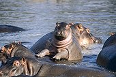 Young Hippopotamus on adult back in water Tanzania