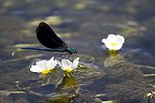 Banded demoiselle settled on a Watter buttercup France