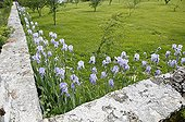 Iris in flowers in spring planted along a wall France