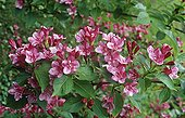 Weigelia in bloom France