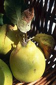 Quinces in a basket France
