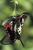 Coupling of Butterflies Papilio Philippines
