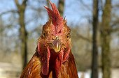 Portait of a Chicken in an outdoor breeding Gironde ; At Mrs. Deplace's in Cézac.