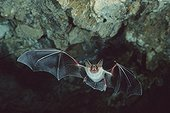 Mouse-eared bat flying in a cave Sardinia Italy