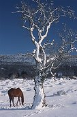 Horse and tree in a snow-covered meadow Sardinia Italia