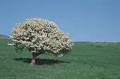 Blossoming Almond-leaved Pear in a cultivated field Sardinia