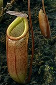 Urn of Nepenthes Pitcher Plant Botanical Garden of Lyon
