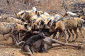 African wild dogs eating a Gnu South Africa