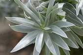 Silver leaves of a Leucadendron