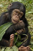 Young eating Chimpanzee of the leaves ; Sanctuary of Pongo Songo in Cameroun