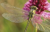 Yellow-legged clubtail on a Pyralidal orchid Switzerland