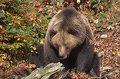 Brown bear sitting in forest