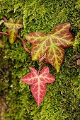 Winter leaves of English Ivy on a mossy trunk