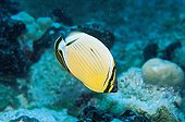 Melon Butterflyfish Rangiroa French Polynesia ; Page 175.