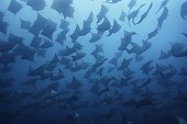 Smoothtail Mobula rays Galapagos Pacific Ocean