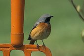 Common Redstart posed on a spade France