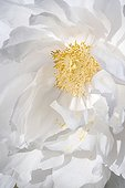 Flower of white Peony France