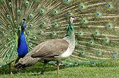 Couple of Indian Peafowls Yonne France ; Forest of Boutissaint<br>