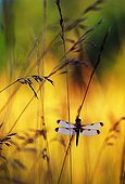 Four spotted skimmer in a meadow at sunrise Switzerland ; In Moulin-de-Vert Natural Reserve.<br>
