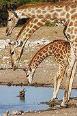 Girafes preparing to drink in front of turtles Namibia
