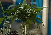 Lily-of-the-valley in flower in early May bearing happiness