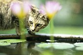 Cat smelling a pond with water lily Bangkok Thailand