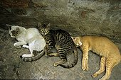 Cats sleeping one behind another India